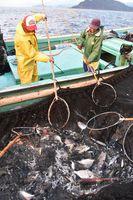 大敷網に入った魚を水揚げする漁師=海陽町の鞆浦漁港沖