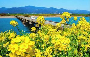黄色の花が水面に映える菜の花=石井町藍畑