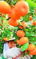 収穫が始まったハウスミカン=阿南市山口町