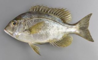 メイチダイ お盆が近づくと美味に【ぼうずコンニャクのうますぎる徳島の魚】31