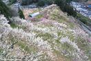 春間近の山々をパステルカラーに染める美郷の梅 徳島…