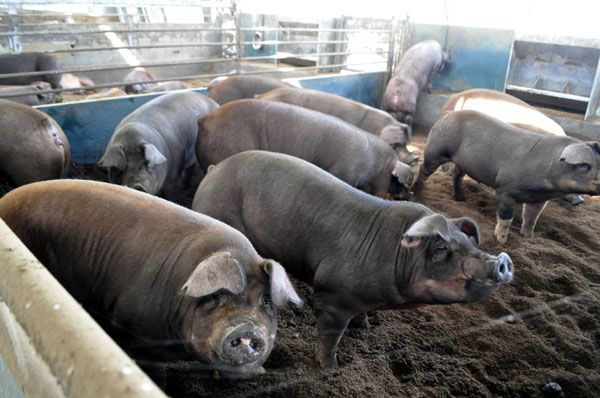 専用の餌を与えられ飼育されている阿波とん豚=石井町