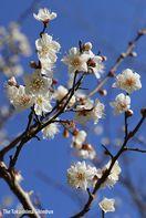 陽気に誘われ白梅の花が見頃 徳島中央公園