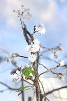 紅葉なのに桜開花 徳島県内、陽気で成長促進