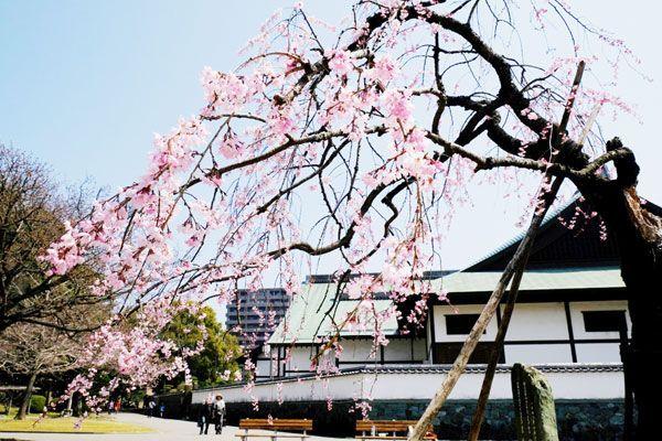 残った枝の花が満開になったシダレザクラ=徳島中央公園