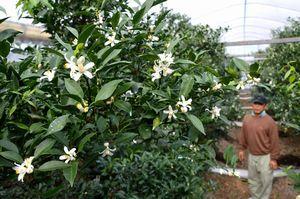 白く愛らしい花を咲かせたユズ=佐那河内村下