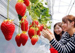 真っ赤に熟れた観光農園のイチゴ=鳴門市大麻町東馬詰のいせや農場