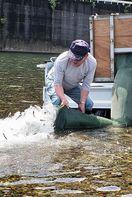 稚アユ23万匹 地元漁協が海部川に放流