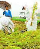竹パウダーを使い育てたコメ収穫