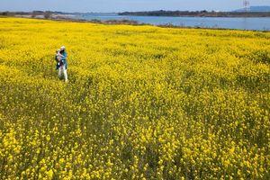菜の花が咲き誇り、一面黄色に染まった吉野川河川敷=上板町第十新田の第十堰北岸(ドローンで撮影)