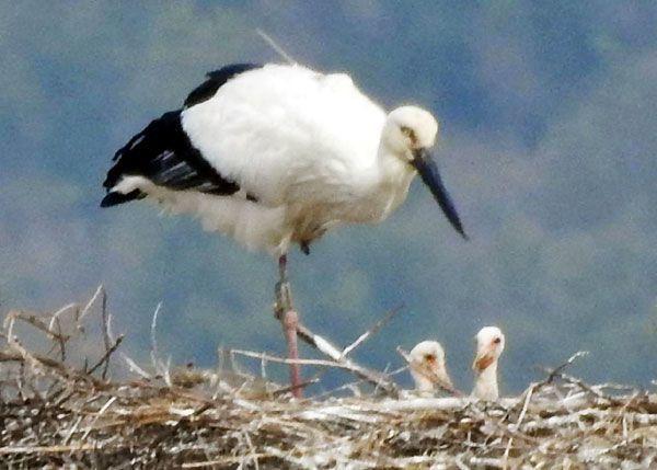 コウノトリの雌の親鳥と2羽となったひな=27日午前10時50分ごろ、鳴門市大麻町(読者提供)
