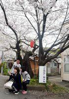 「ど根性親子桜」の前で記念撮影する親子連れ。左が樹齢約80年の木=阿南市羽ノ浦町岩脇