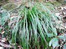 新種植物「テバジマスゲ」と命名 徳島・出羽島で発見