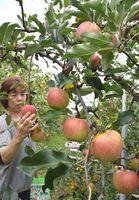 赤く色づき食べ頃を迎えたリンゴ=美馬市脇町横倉の観光リンゴ園