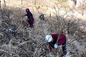 ミツマタを収穫する木沢林業研究会の会員ら=那賀町掛盤