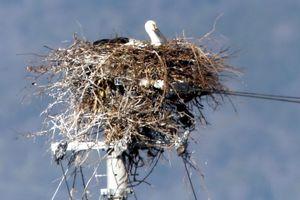 巣で伏せるコウノトリの雄。産卵の可能性が高まっている=午前7時40分、鳴門市大麻町