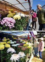 [上]大輪の花を咲かせた菊を眺める来場者=美馬市脇町の市観光交流センター[下]色とりどりの菊に見入る来場者=美馬市美馬町の林照寺