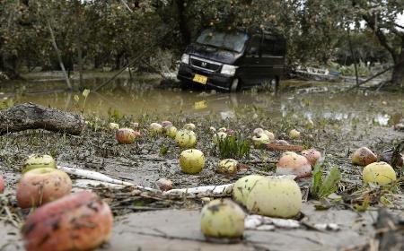 冠水被害のリンゴ農園で泥にまみれたリンゴ=2019年10月15日、長野市