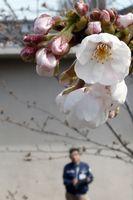 花を咲かせたソメイヨシノの標準木=午後1時20分ごろ、徳島市大和町の徳島地方気象台