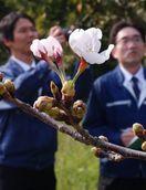 徳島市で桜開花 昨年より5日遅く 満開は4月4日ご…