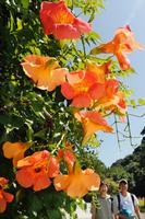 梅雨明けの青空の下、鮮やかなオレンジ色の花を咲かせたノウゼンカズラ=徳島市の徳島中央公園