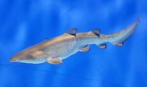 アクアワールド茨城県大洗水族館で生まれた「シロワニ」の幼魚(同水族館提供)