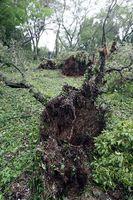 台風の影響で根こそぎ倒れた桜=午前7時半ごろ、徳島市の西部公園