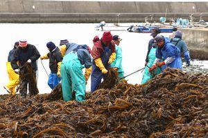 ワカメに絡まったロープを外す作業に追われる組合員=鳴門市鳴門町土佐泊浦の亀浦漁港