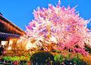 250歳の蜂須賀桜 29日と来月1日に一般公開、暖…