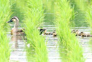 仲良く水田を泳ぐカルガモの親子=徳島市八万町夷山