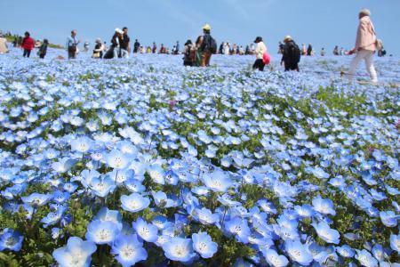 「国営ひたち海浜公園」で見頃を迎えたネモフィラ。多くの観光客らでにぎわっている=23日、茨城県ひたちなか市