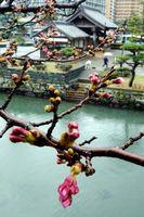 開花が遅れている桜=徳島市の徳島中央公園