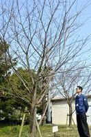 新しく標本木となったソメイヨシノ=徳島市大和町2の徳島地方気象台