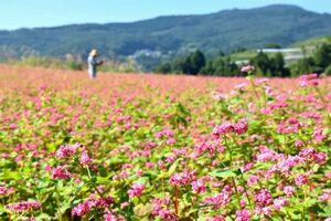 満開になった赤ソバの花=美馬市美馬町の立見山地区