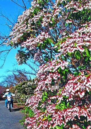 鈴なりに花咲く 板野町大坂のアセビ【ほっと一息 徳島の春】