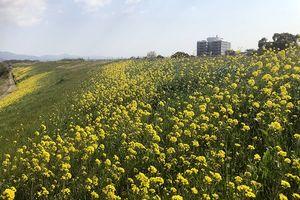 堤防を黄色に染める菜の花=吉野川市