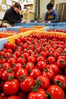 つやつやと輝くフルーツトマト=阿波市市場町山野上