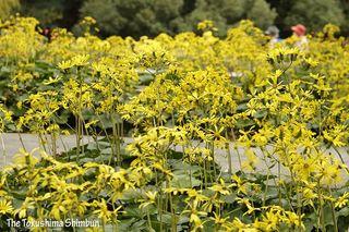 ツワブキ見頃 徳島中央公園