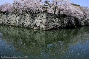 満開となり人々の目を楽しませている徳島中央公園のソメイヨシノ=徳島市