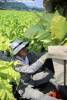 葉タバコを収穫する農家=阿南市下大野町