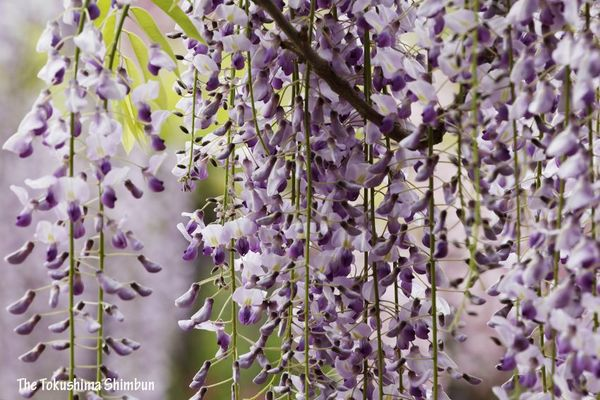 満開を迎えているフジの花=石井町石井の地福寺