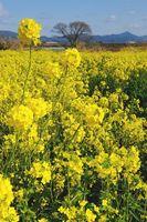 吉野川河川敷で咲き始めた菜の花=石井町藍畑