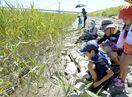 希少種・シオマネキの子ガニを観察 徳島・吉野川河口