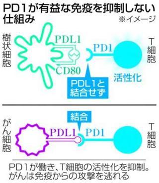 オプジーボの糸口・タンパク質PD1 正常な免疫機能抑えない謎解明徳大・岡崎教授チーム