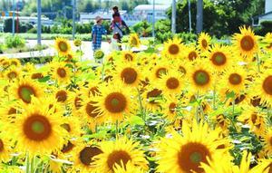 畑一面を黄色に染めるヒマワリ=石井町高原西高原