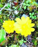 鮮やかな黄色の花を咲かせたフクジュソウ=那賀町木頭北川