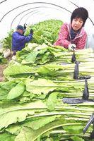 収穫が始まったハウス栽培の野沢菜=徳島市国府町佐野塚