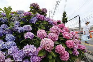色とりどりのアジサイが咲き誇る=午前11時半ごろ、徳島市城東町1