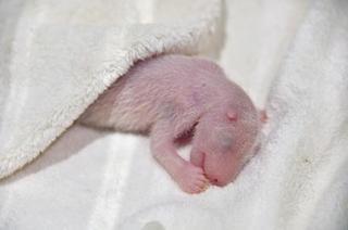 赤ちゃんパンダ授乳確認、和歌山