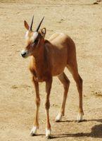 とくしま動物園で生まれたシロオリックスの雌の赤ちゃん=12日撮影(同園提供)